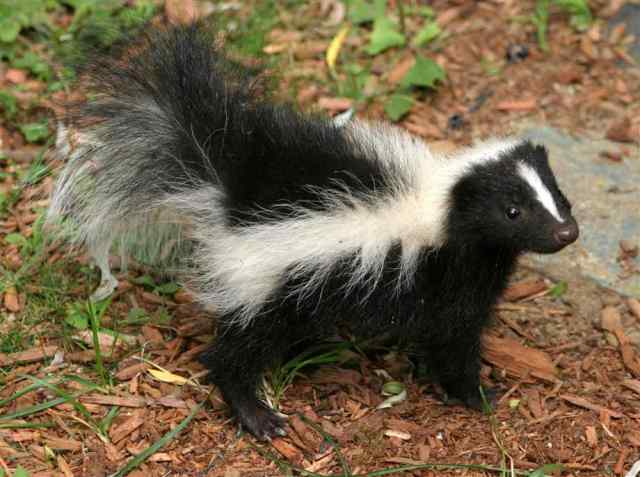baby-skunk (18)